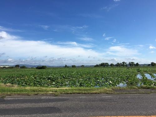 06レンコン畑.JPG