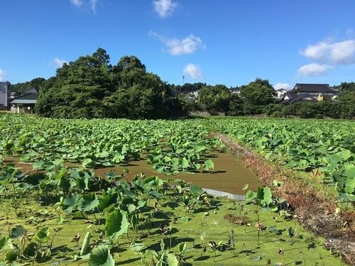 07レンコン畑.JPG