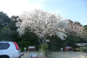 04sakura